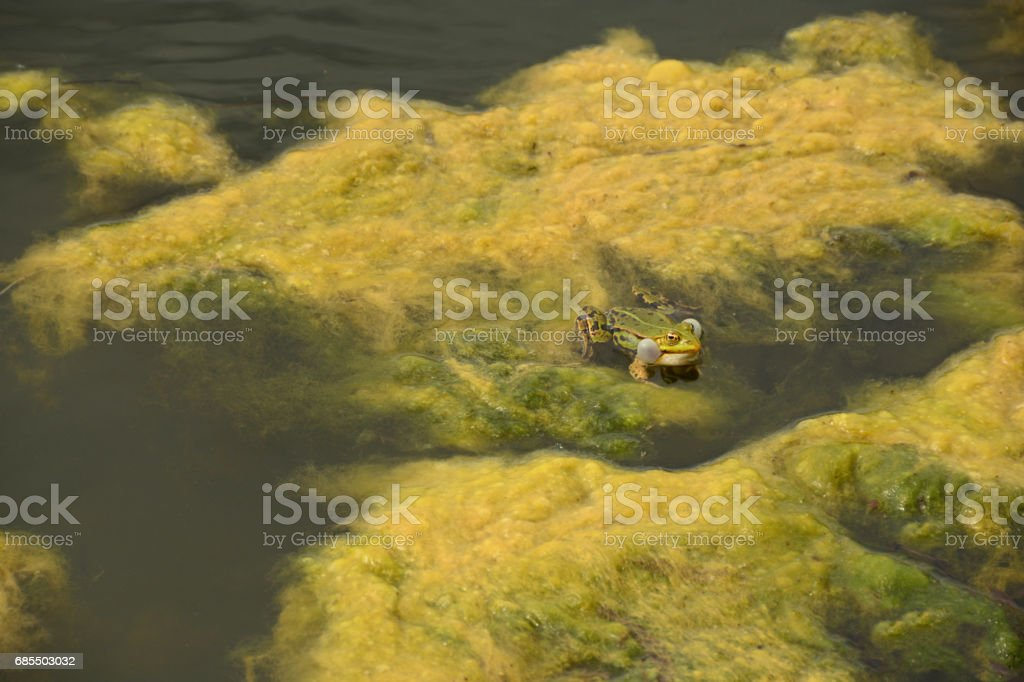 Common green frog with vocal sac laying on the watersurface. stock photo