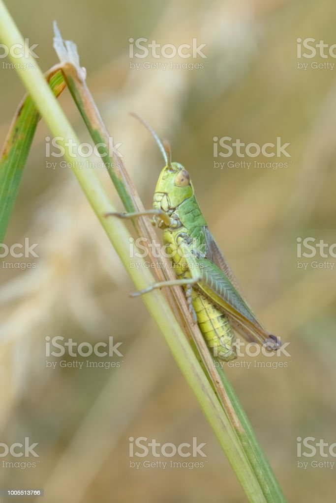 Common Green Grasshopper stock photo