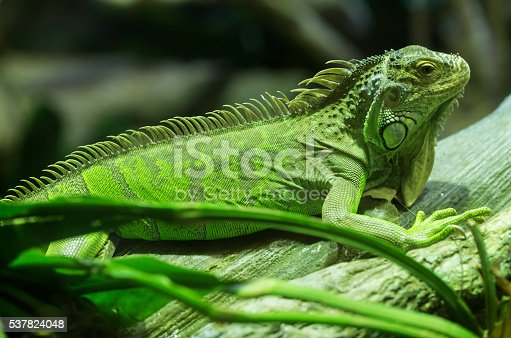 istock Common green iguana standing on a branch 537824048
