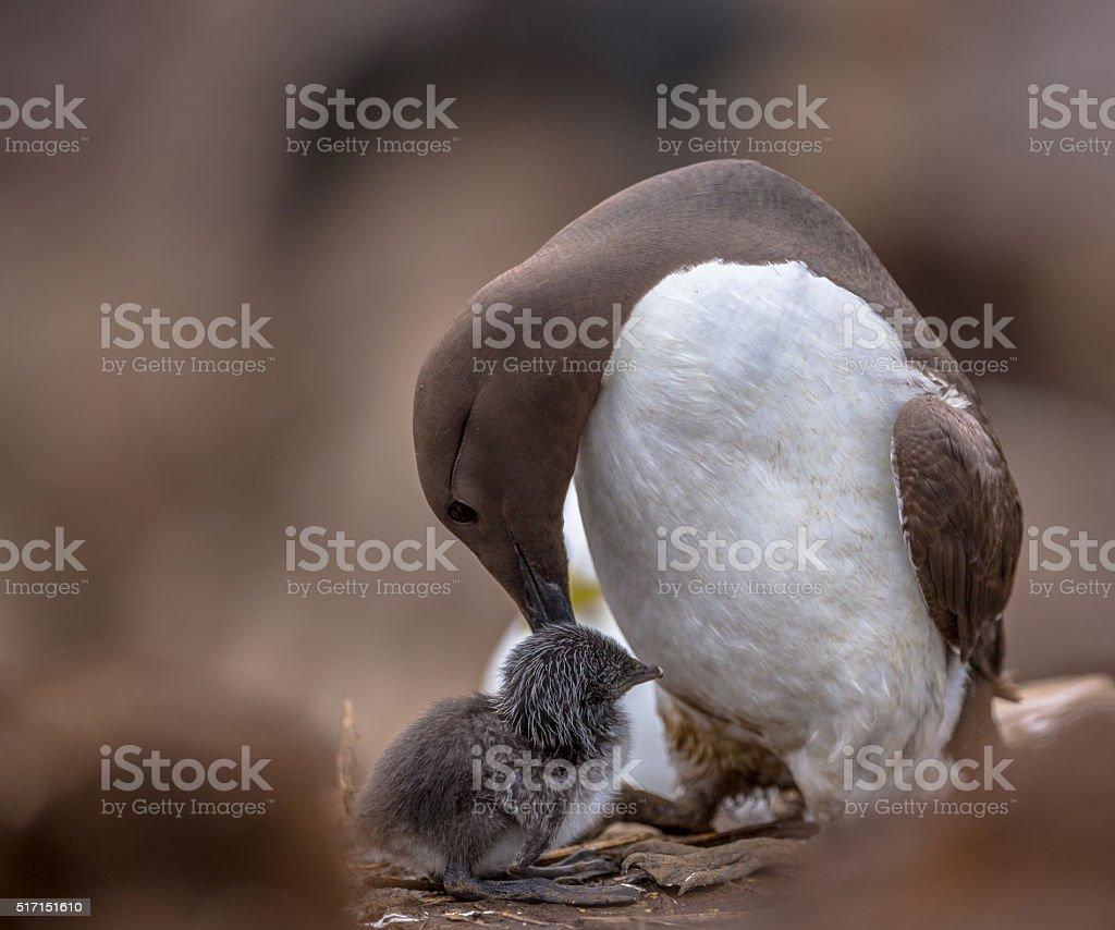 Common guillemot nursing chick stock photo