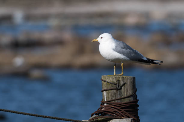 Common Gull on a wooden post stock photo