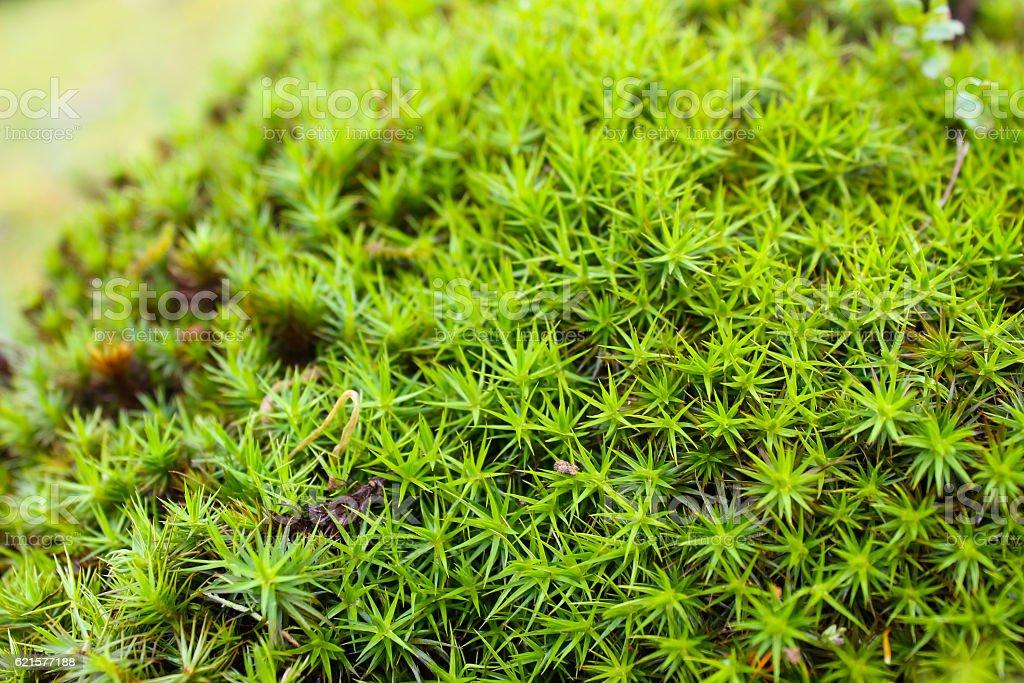 Common haircap moss, star moss (Polytrichum commune) photo libre de droits