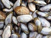 Preparing sea shells,Hiatula diphos