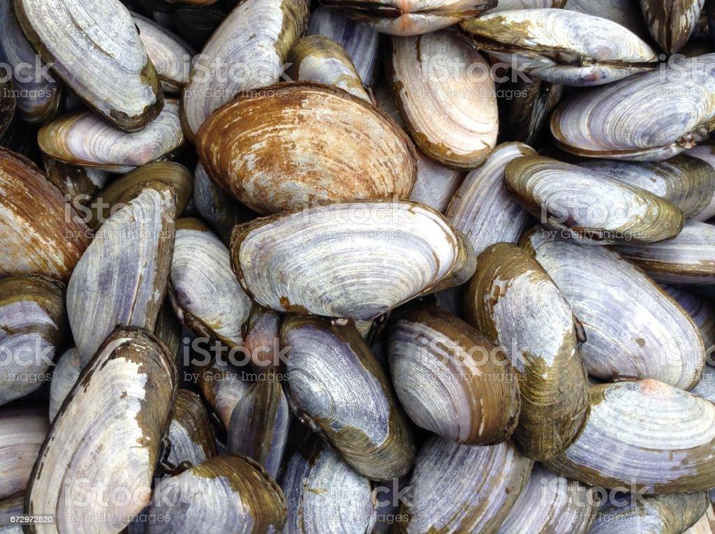 Almeja dura común - foto de stock