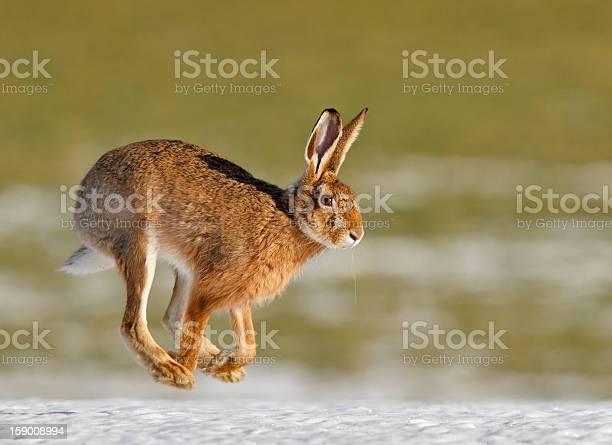 Common hare running in spring picture id159008994?b=1&k=6&m=159008994&s=612x612&h=f3g7bibtdeglpdovlxa yj8j8tnduwp5fhtipja8kem=