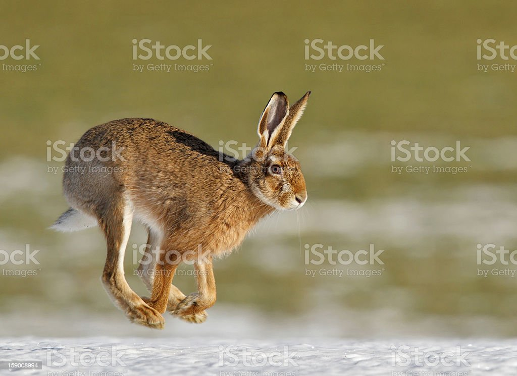 Common hare running in spring stock photo