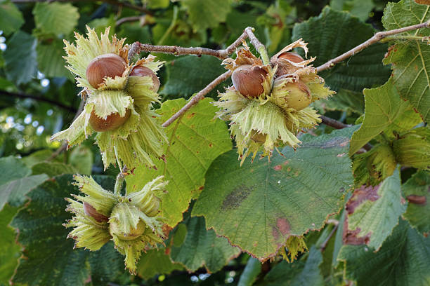 common hazel - haselnuss baum stock-fotos und bilder