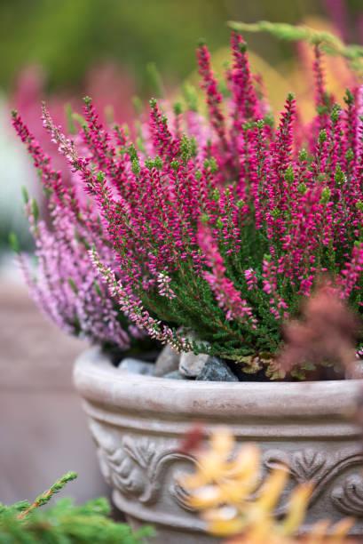 Common heather, Calluna vulgaris, in flower pot stock photo