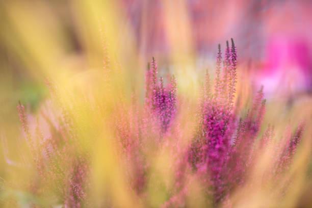 bruyère commune, calluna vulgaris, en pleine floraison, mise au point sélective et peu profonde dof, couleurs dans le jardin d'automne - couleur des végétaux photos et images de collection