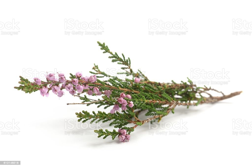 Common heather, calluna vulgaris stock photo