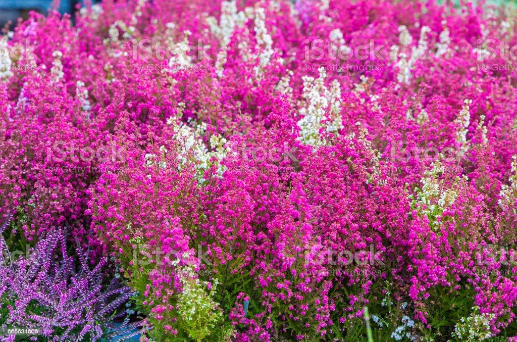 Common Heather flowers stock photo