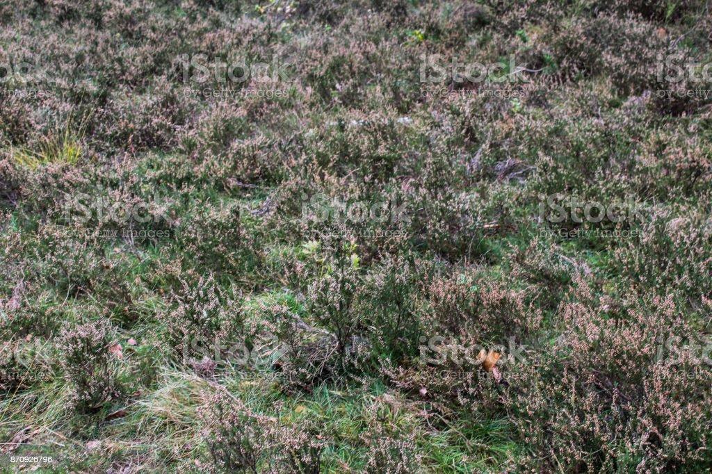 common heather in autumn stock photo
