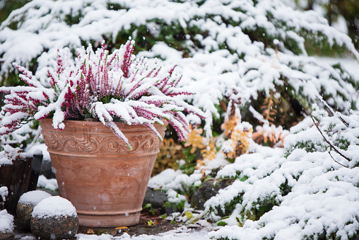 Common heather in flower pot covered with snow, evergreen juniper in the background, snowy garden in winter