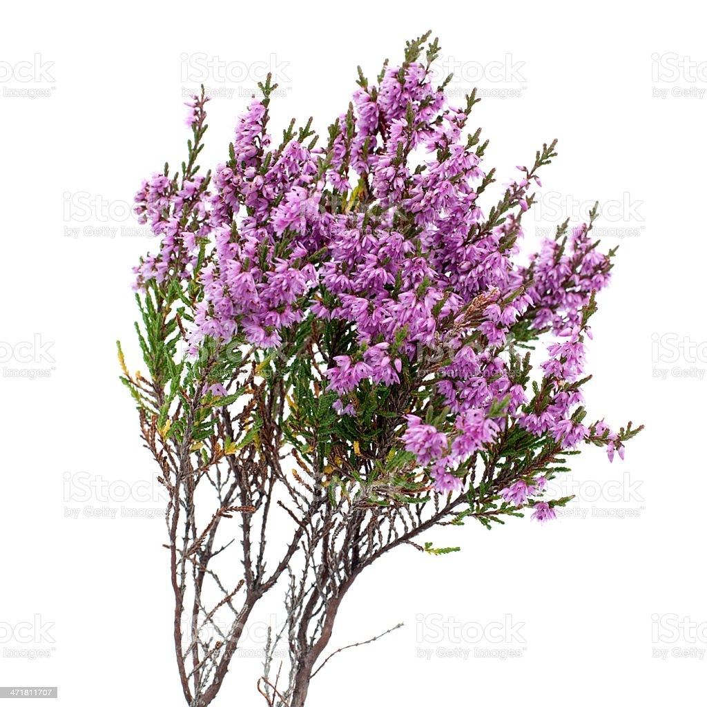 Common Heather (Calluna vulgaris) on White Background stock photo