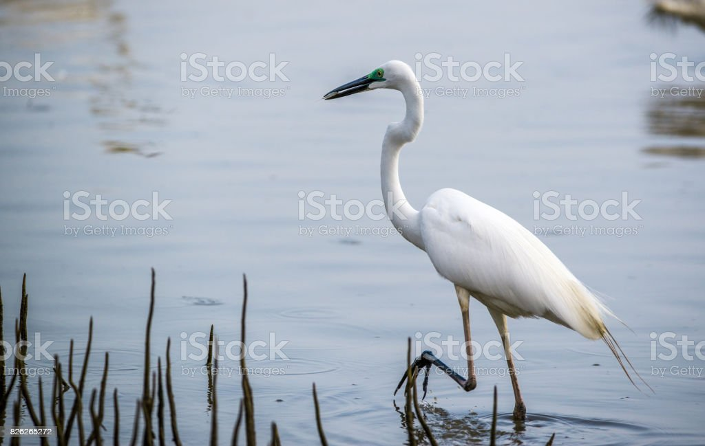 Common Heron in Breeding Plumage stock photo