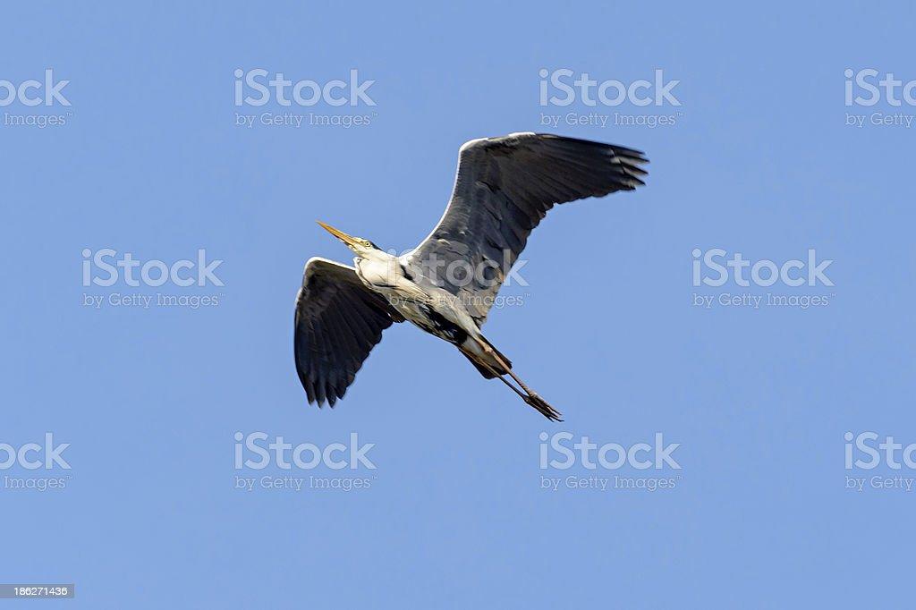 Common heron royalty-free stock photo