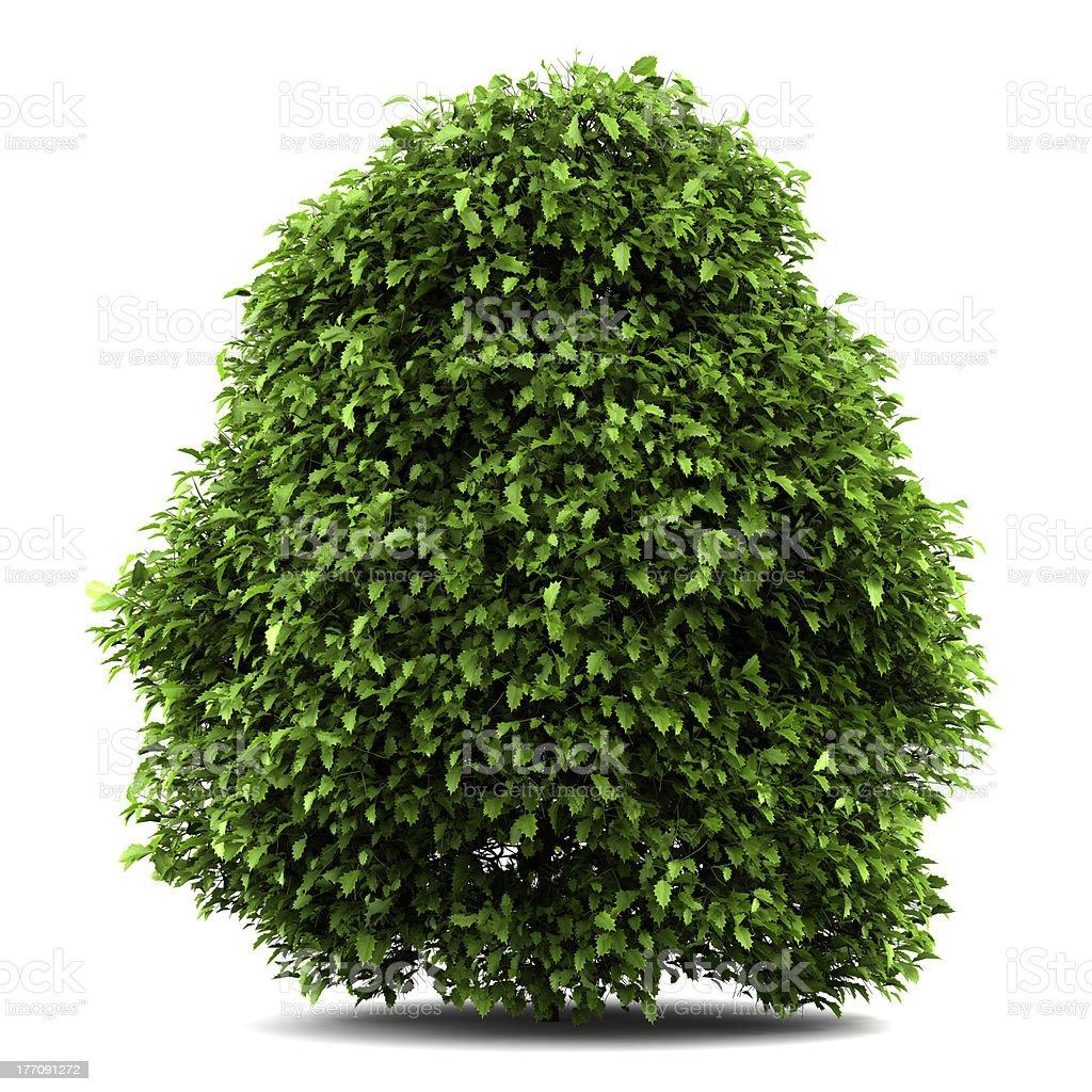 common holly bush isolated on white background stock photo