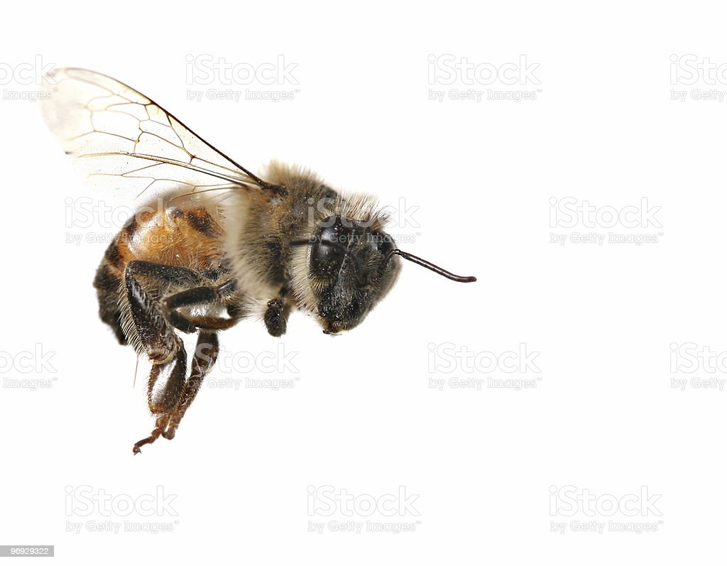 Common Honey Bee From North America royalty-free stock photo