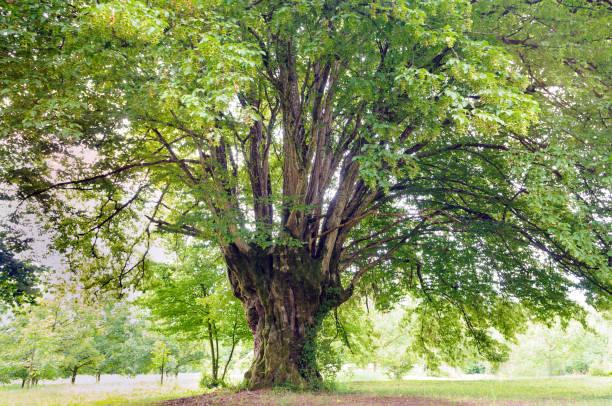 Gemeinsamen Hainbuche (Carpinus Betulus) – Foto