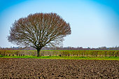 Common Hornbeam tree in winter, set against agricultural land in East Anglia.