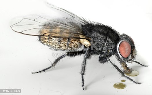 Common house fly close up CGIs