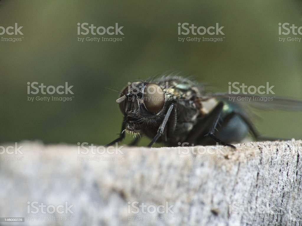 Common House Fly – Foto
