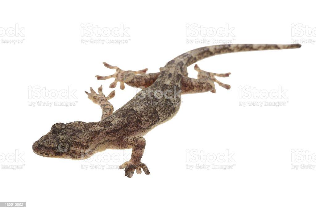 Common house gecko stock photo