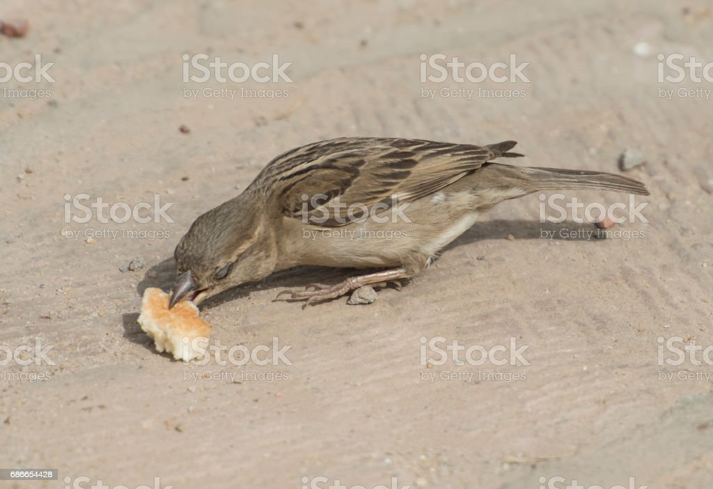 Common house sparrow feeding on bread royalty-free stock photo