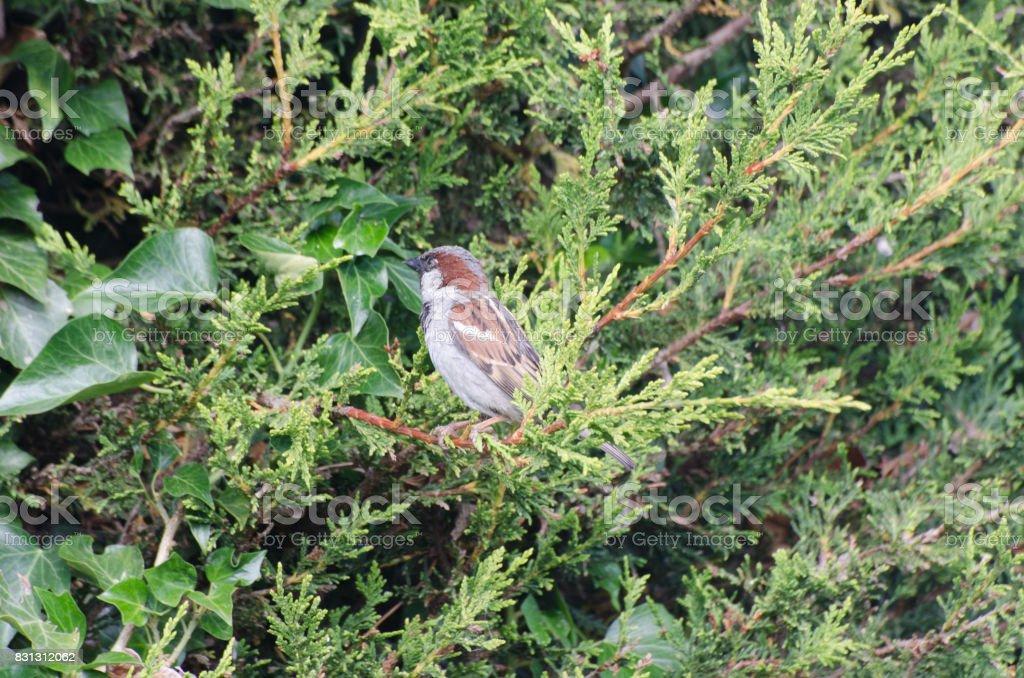 Common House Sparrow in  tree stock photo