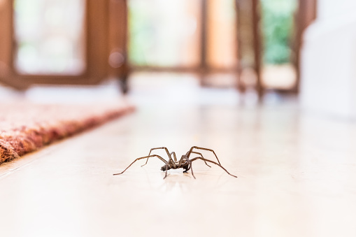 common house spider on a smooth tile floor seen from ground level in a kitchen in a residential home