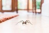 家で床にオオヒメグモ