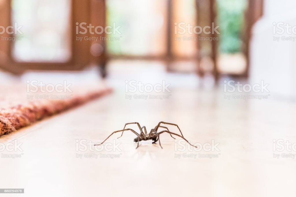 common house spider on the floor in a home stock photo