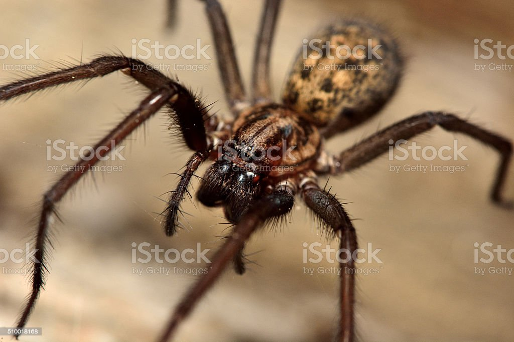 Common house spider (Tegenaria domestica) stock photo