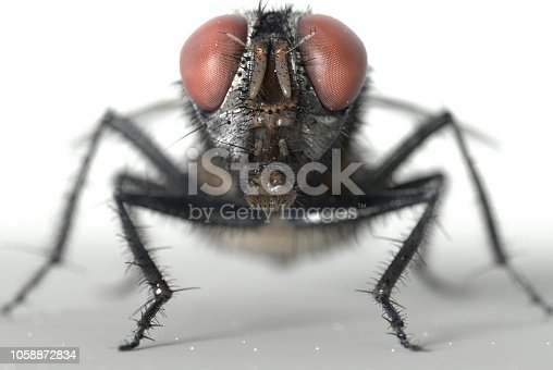 Common housefly isolated on white