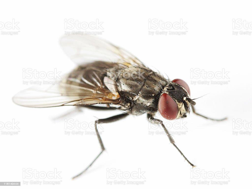 Common housefly stock photo