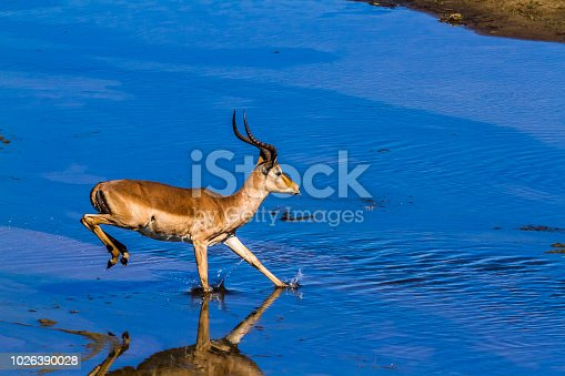 Common Impala in Kruger National park, South Africa ; Specie Aepyceros melampus family of Bovidae