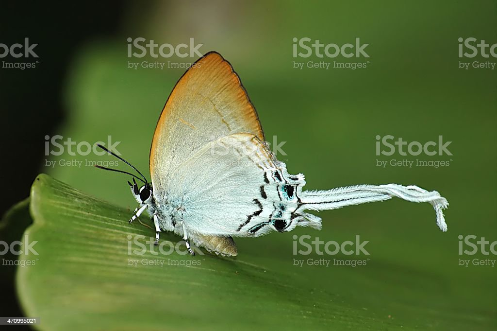Common Imperial - Cheritra freja (Singapore Butterfly) stock photo