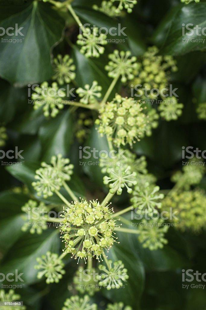 common ivy royalty-free stock photo