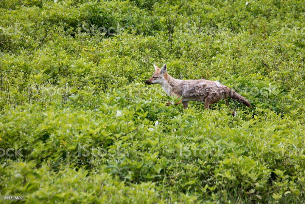 Common jackal, Ngorongoro Crater, Tanzania foto stock royalty-free