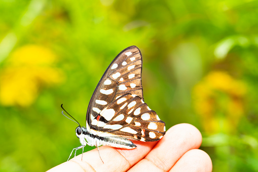 istock Common jay butterfly ( Graphium doson)  resting on human finger 1130048216