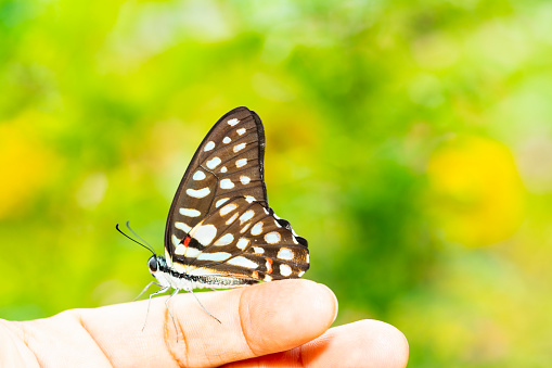 istock Common jay butterfly ( Graphium doson)  resting on human finger 1130048225