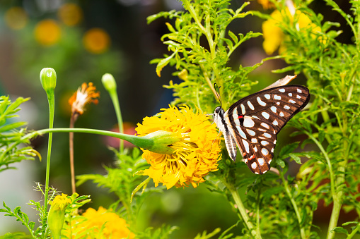 istock Common jay butterfly ( Graphium doson)  resting on yellow flower 1130048234
