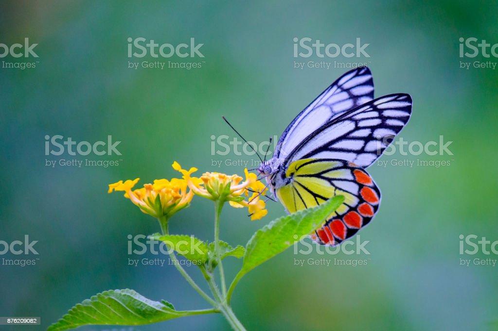 Common jazebel butterfly stock photo