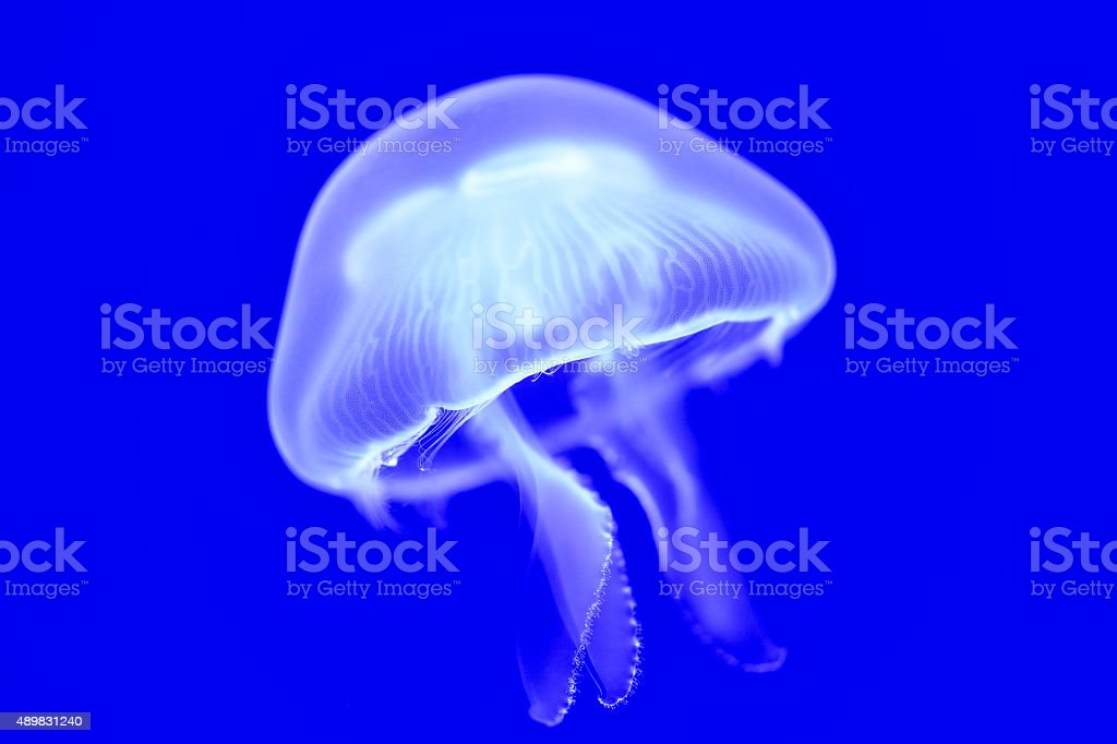 common jellyfish stock photo