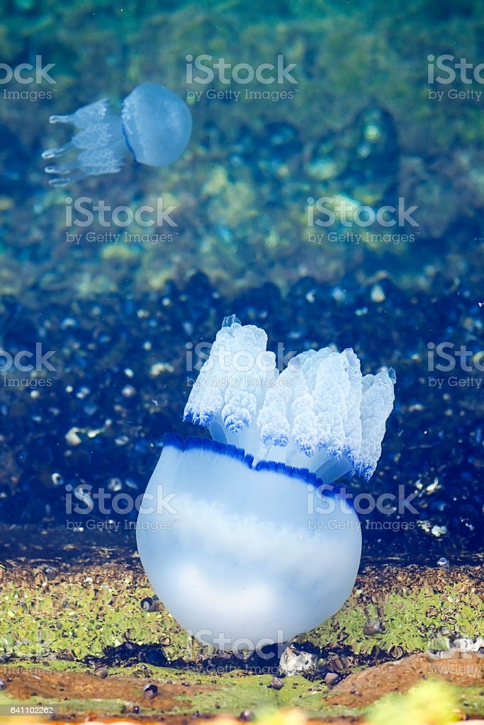 Common jellyfishes stock photo