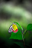The common Indian Jezebel butterfly drinking nectar from the flower plants