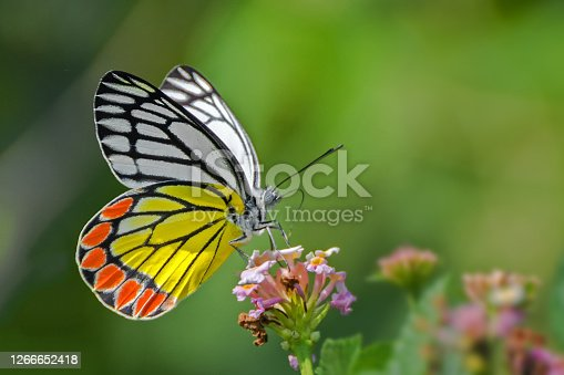 A beautiful Common Jezebel butterfly (Delias eucharis) is seated on Lantana flowers, a close-up side view of colourful wings in a blurred green background, West Bengal, India
