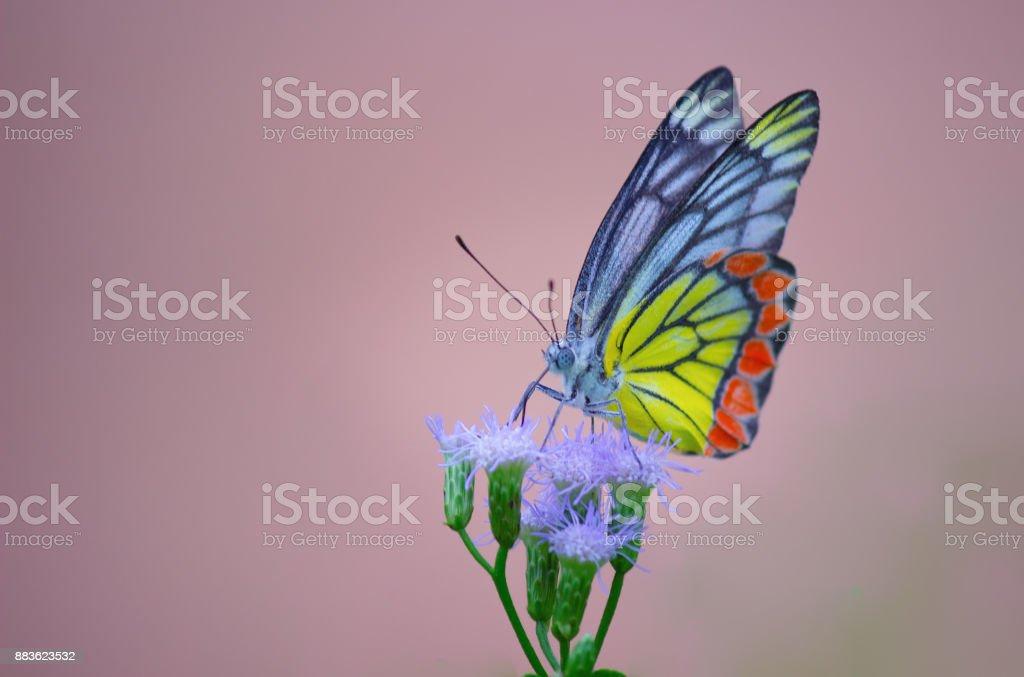 Common Jezebel butterfly stock photo