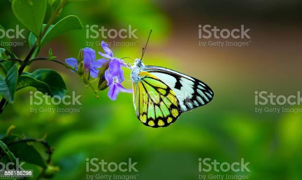 Common jezebel butterfly picture id886186298?b=1&k=6&m=886186298&s=612x612&h=1lcipmsowbmw9j81khva2hp2odlnvzqoaeg8ow45edq=