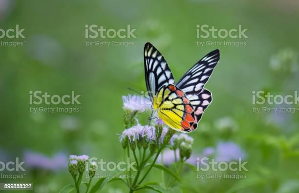 Common jezebel butterfly picture id899888322?b=1&k=6&m=899888322&s=612x612&h=s7ssdmer twgirohch0blmloz7j s xsuan itgwcjm=